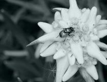 Edelweiss和昆虫 免版税库存图片