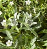 2 edelweiss в луге planina Stara, Болгарии Стоковое фото RF