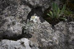 Edelweiss защитило редкий цветок в горах Tatra Стоковое Изображение RF
