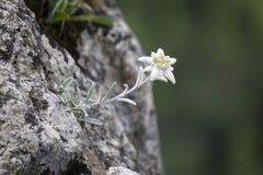 Edelweiss защитило редкий цветок в горах Tatra Стоковое Фото