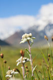 edelweiss лужайка которая Стоковые Фото
