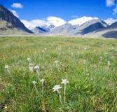 edelweiss лужайка которая Стоковая Фотография