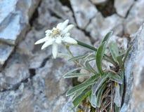 Edelweiss (火绒草属alpinum) 免版税库存图片