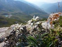 Edelweiss (火绒草属alpinum) 库存照片