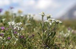 edelweiss Immagini Stock Libere da Diritti