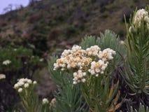edelweiss Foto de archivo libre de regalías