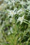 edelweiss Стоковое Изображение