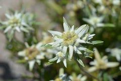 edelweiss Стоковое Фото