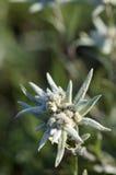 edelweiss Стоковая Фотография