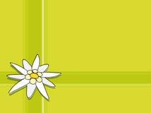 Edelweiss vector illustratie