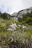 Edelweiss Photographie stock