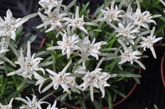 Edelweiss. German Edelweiss from the alps, botanical: Leontopodium alpinum Royalty Free Stock Image