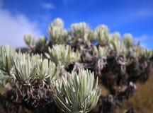 edelweiss Στοκ Φωτογραφία