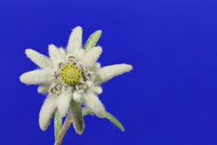 Edelweiss Stock Image