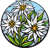 Edelweiss. There are delicate edelweiss in the mountains Royalty Free Stock Photos