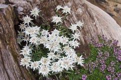Edelweiss Стоковые Изображения RF