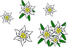 Edelweiss. Illustration of different edelweiss flowers Royalty Free Stock Images