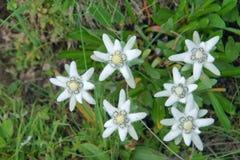 edelweiss Immagini Stock