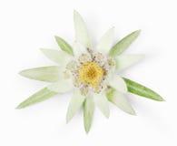 edelweiss Foto de archivo