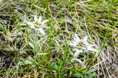 edelweiss Photo stock