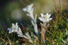 edelweiss Стоковое Изображение RF