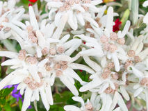 edelweiss Fotografie Stock Libere da Diritti