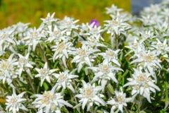 edelweiss Стоковая Фотография RF