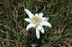 edelweiss Images stock