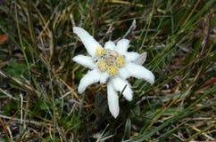 edelweiss Arkivbilder