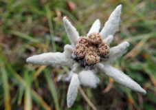edelweiss Immagine Stock