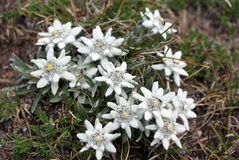 Edelweiss Royalty Free Stock Photos