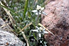 edelweiss Imagen de archivo libre de regalías