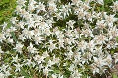 edelweiss Fotografia Stock