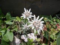 edelweiss Royalty-vrije Stock Foto