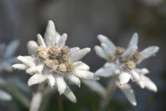 edelweiss 免版税库存图片