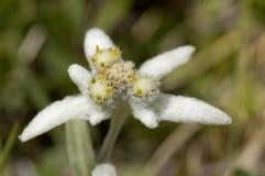 edelweiss Immagine Stock Libera da Diritti
