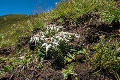 edelweiss Royalty-vrije Stock Afbeelding
