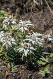 edelweiss Stock Foto's