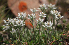 Edelweiss 171 Images stock