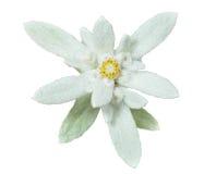 Edelweiss 14 Стоковое Изображение