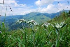 edelweiss Стоковые Изображения