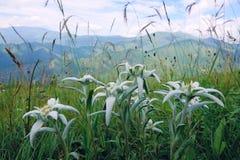 edelweiss Стоковые Фотографии RF