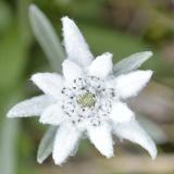 Edelweiss in aard Stock Afbeelding