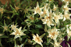 Edelweiss alp flower Stock Images