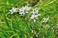 Edelweiss alpine flower. Small edelweiss (Leontopodium,alpinum), rare alpine flower with soft hairy petals enduring the harsh environment (over 2000 m above sea Royalty Free Stock Photography
