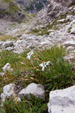 Edelweiss alpine flower. Small edelweiss (Leontopodium,alpinum), rare alpine flower with soft hairy petals enduring the harsh environment (over 2000 m above sea Royalty Free Stock Image
