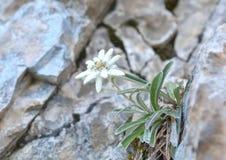 Edelweiss (alpinum de Leontopodium) Photographie stock libre de droits