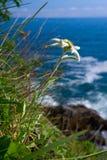 Edelweiss, alpinum del Leontopodium Immagini Stock Libere da Diritti