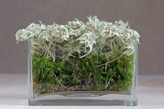 Edelweiss (alpinum del Leontopodium) Immagini Stock