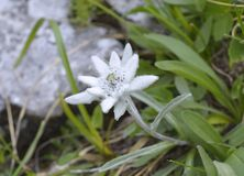 Edelweiss (alpinum del Leontopodium) Fotografie Stock Libere da Diritti